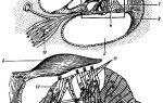 Полукружный канал трубы в ухе