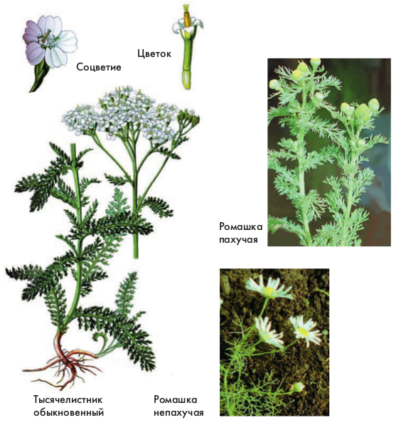 Цветки у растений семейства сложноцветные трубчатые воронковидные язычковые