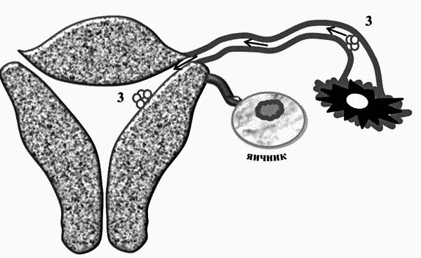 Функции маточных труб место оплодотворения яйцеклетки