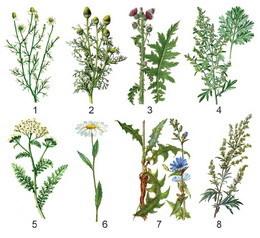 Только трубчатые цветки примеры