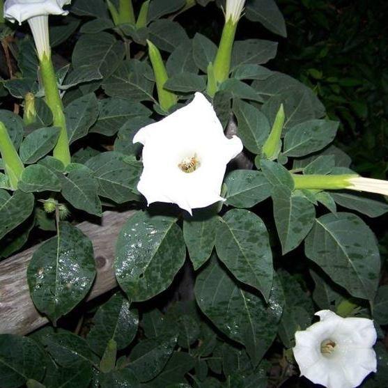 Цветок трубы ангела описание