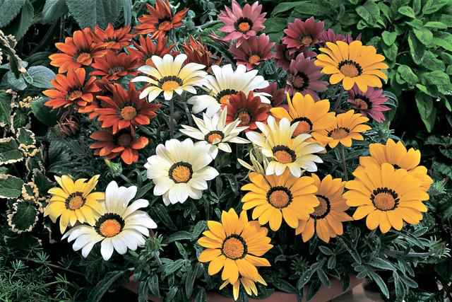 Цветки трубчатые язычковые воронковидные соцветие корзинка