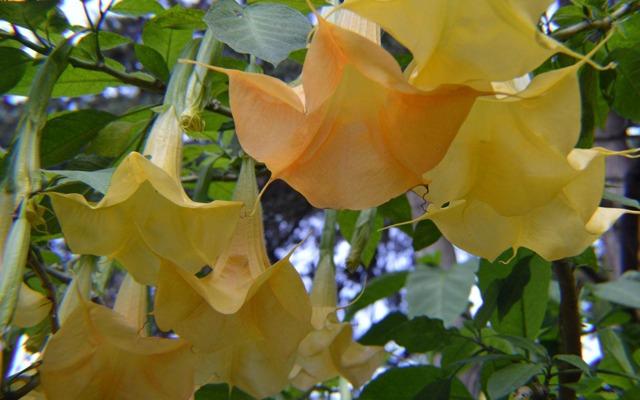 Цветок трубы ангела как за ним ухаживать