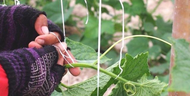 Как из труб сделать шпалеры для огурцов