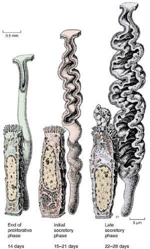 Серозная оболочка маточной трубы покрыта